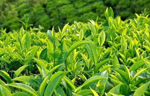 Taiwan Greentea