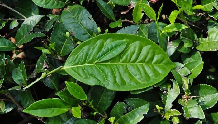Camelia Sinensis Assamica có lá lớn, được sử dụng ở các khu vực thuộc Ấn Độ và Sri Lanka