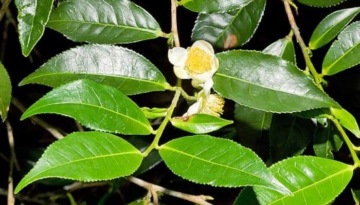 Còn Camelia Sinensis Sinensis mang lá ngắn hơn và được sử dụng chủ yếu ở Trung Quốc và các nước Đông Á lân cận khác