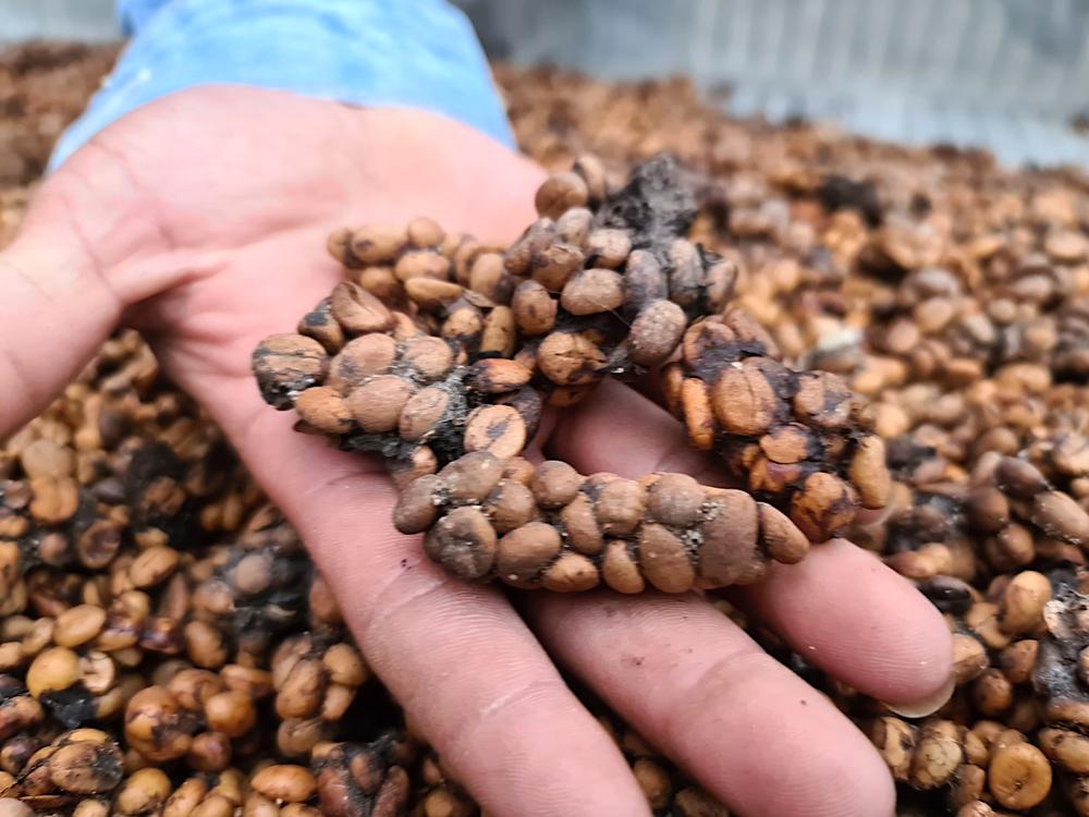 Khám phá quy trình nuôi, sản xuất, chế biến cà phê chồn
